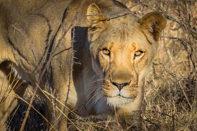 Walk_lions-080