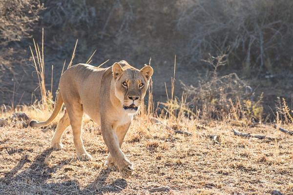 Walk_lions-027