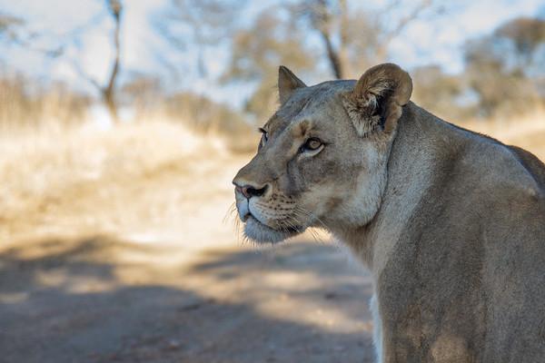 Walk_lions-058
