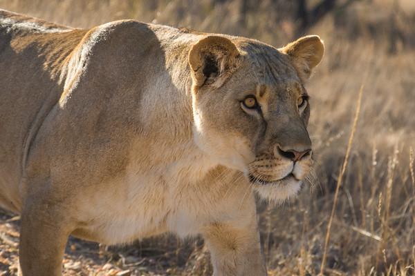 Walk_lions-021