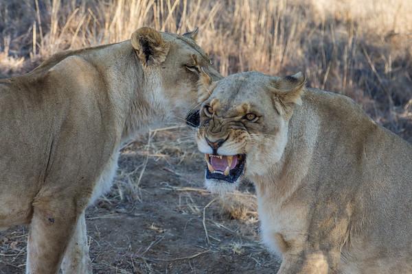 Walk_lions-046
