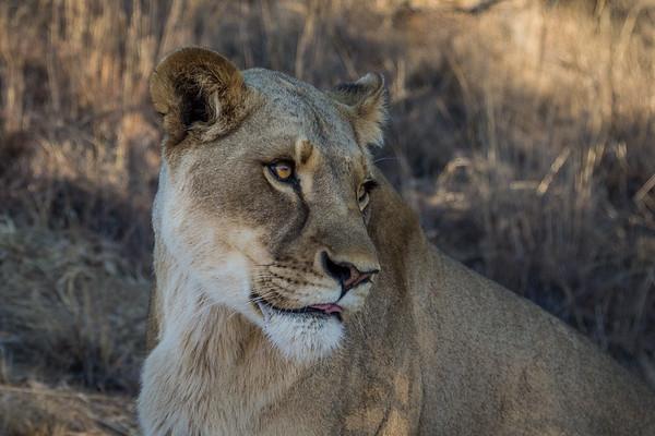 Walk_lions-049
