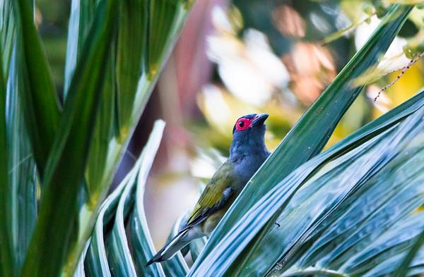 Figbird (male) Sphecotheres Vieilloti