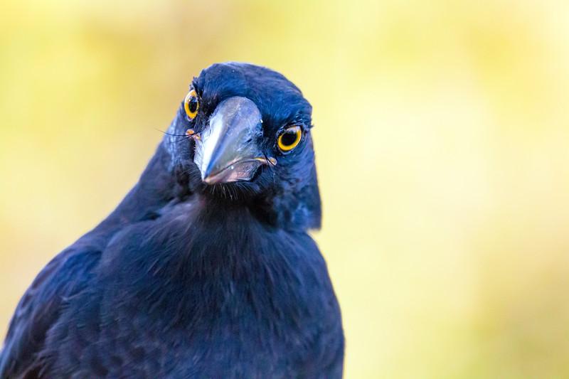 Juvenile Torresian Crow<br /> Corvus orru