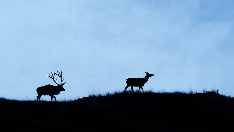 Bull Elk pursues a cow during the rut