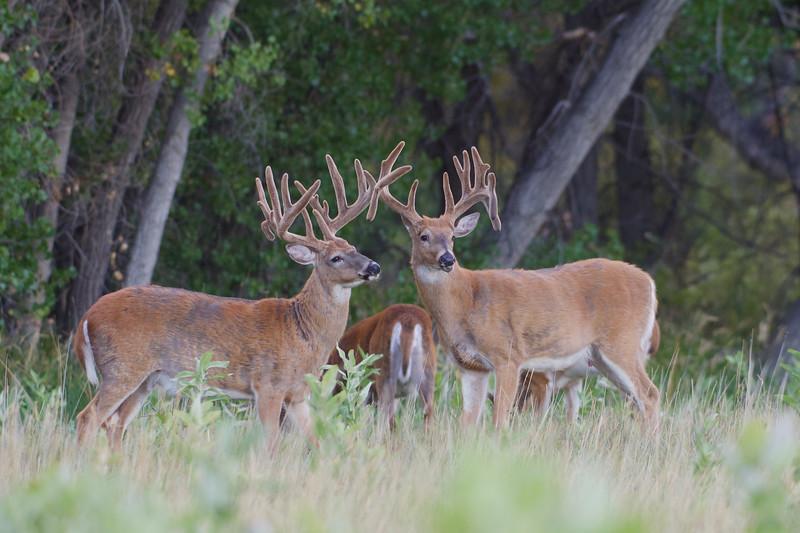 some nice Whitetail bucks