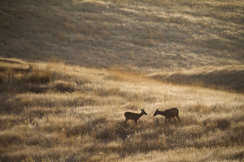 Whitetail doe and fawn on the prairie