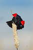 Red-winged Blackbird performing his mating display