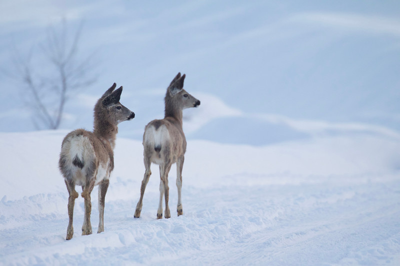 Mule Deer in winter's snow