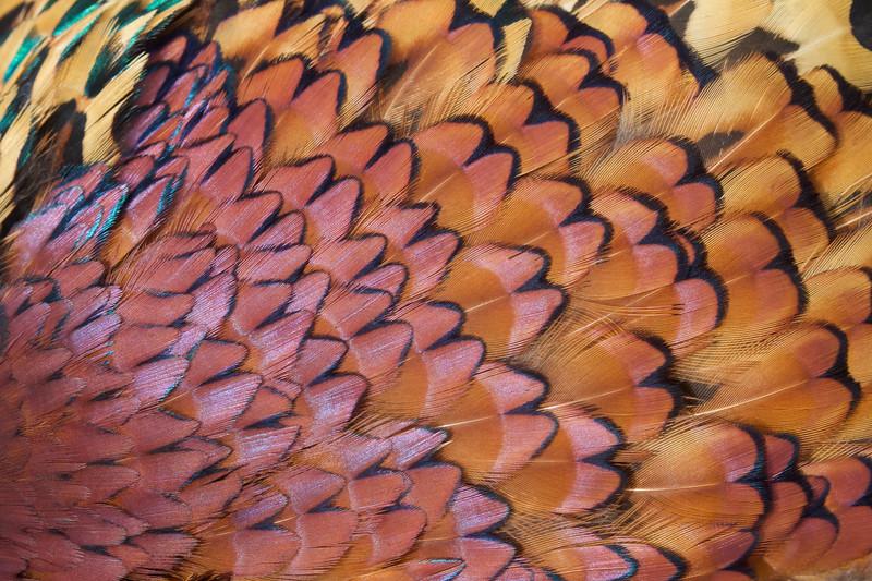 Ringneck Pheasant plumage detail