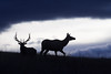 Pair of Elk in evening's last light - straight out of the camera with no adjustments
