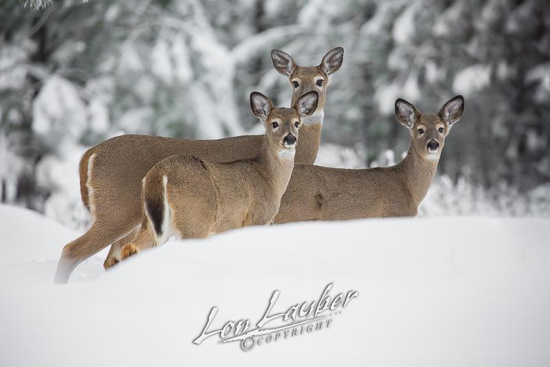 Mammals, white-tailed deer, winter wildlife