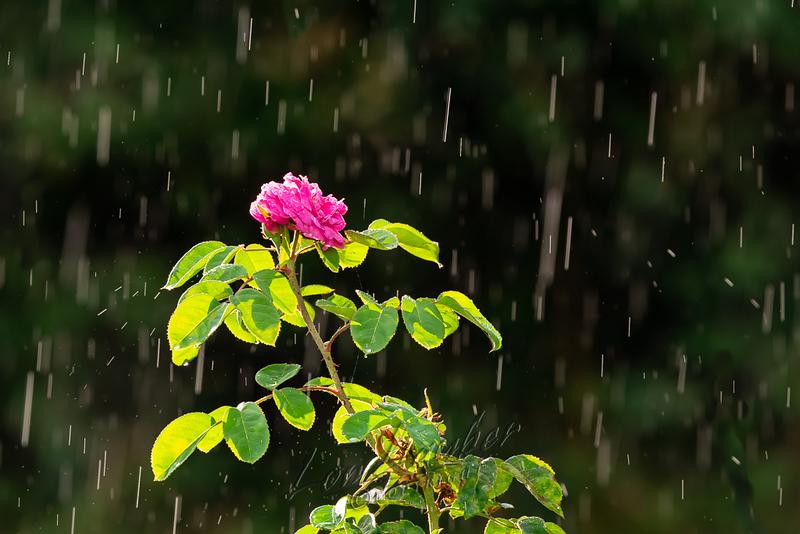 Plants, flowers, rose, with rain