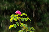 Plants, flowers, rose, with rain