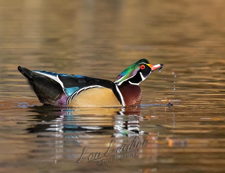 Birds, waterfowl, wood ducks, wildlife