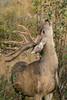 Mammals, mule deer, buck