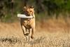 Mammals, dogs, yellow Labrador retriever, retrieving a dummy or bumper