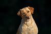 Mammals, dogs, yellow Labrador retriever,  adult female, Tanni