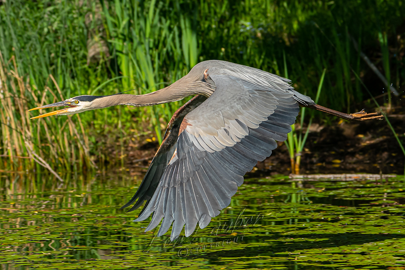 Birds, great blue heron, wildlife