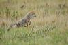 Mammals, coyote