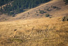 Mammals, coyote, several coyotes hunting as a pack, autumn, fall