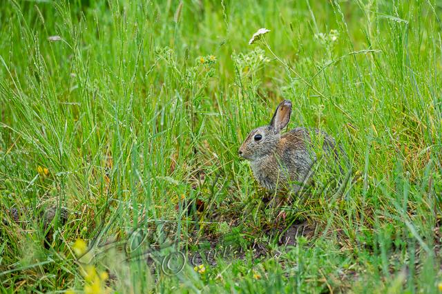 Mammals, cottontail rabbit, adult, feeding in wet grass, raining, wildlife