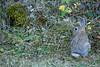 Mammals, cottontail rabbit, baby, kit, wildlife