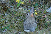 Mammals, cottontail rabbit, baby, kit, wildlife