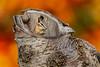 Mammals, chipmunk, wildlife