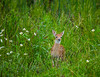 Mammals, big game, whitetails, fawn,  wildlife