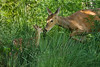 Mammals, big game, whitetails, doe with fawn, wildlife
