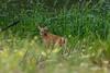 Mammals, whitetail deer, fawn, wildlife