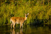 Mammals, whitetail deer, wildlife