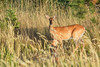 Mammals, white tailed deer, doe and fawn, wildlife