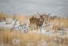 White-tailed deer, whitetails, deer, mammals, wildlife