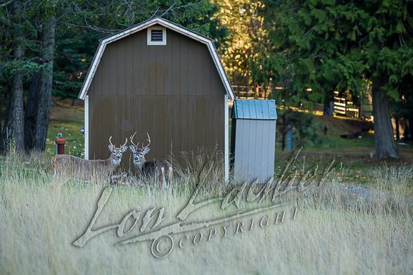Mammals, white tailed deer, immature bucks, wildlife