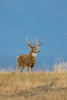 Mammals, white-tailed deer, whitetails, deer, wildlife