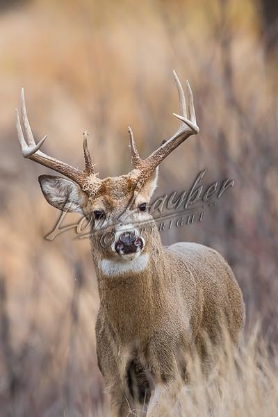 Mammals, white-tailed deer, whitetails, deer, wildlife