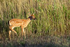 Mammals, white tailed deer, fawn, wildlife
