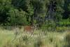Mammals, big game, whitetails, buck, early summer antler development, wildlife