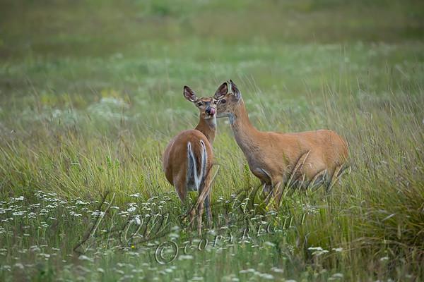 Mammals, big game, whitetails, does, wildlife