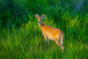 Mammals, big game, whitetails, buck, early summer antler development, wildlife