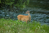 Mammals, big game, whitetails, doe, wildlife