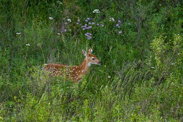Mammals, big game, whitetails, fawn,  wildlife