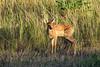 Mammals, white tailed deer, fawn, wildlife