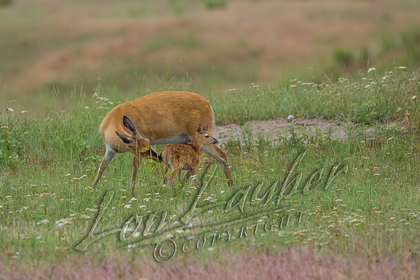 Mammals, big game, whitetails, doe and new born fawn, wildlife