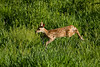 Mammals, big game, whitetails, fawn, running and jumping, wildlife