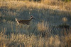 Mammals, whitetail deer, wildlife