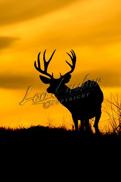 Mule deer, mammals, deer, wildlife