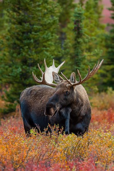 Mammals, moose, bull moose, Alaska